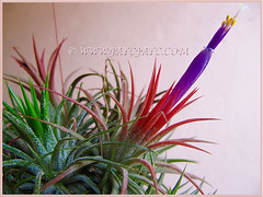 Fully bloomed Tillandsia ionantha (Tilly, Air Plant, Blushing Bride, Sky Plant) for the second time, Dec 27 2015