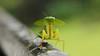 Leaf mimic Mantis - Choeradodis rhomboidea. SRI LANKA