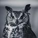 Longeared Owl by Miles_78