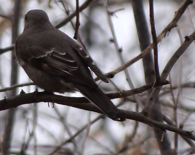 Townsend's solitaire, Colorado, February, cropped and brightened