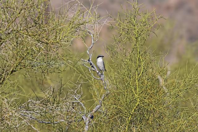 Loggerhead Shrike 5_7D2_170316