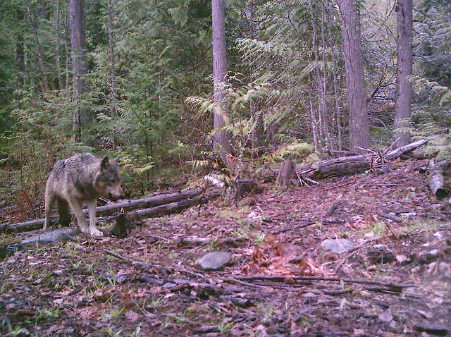 Photo of Grey Wolf British Columbia