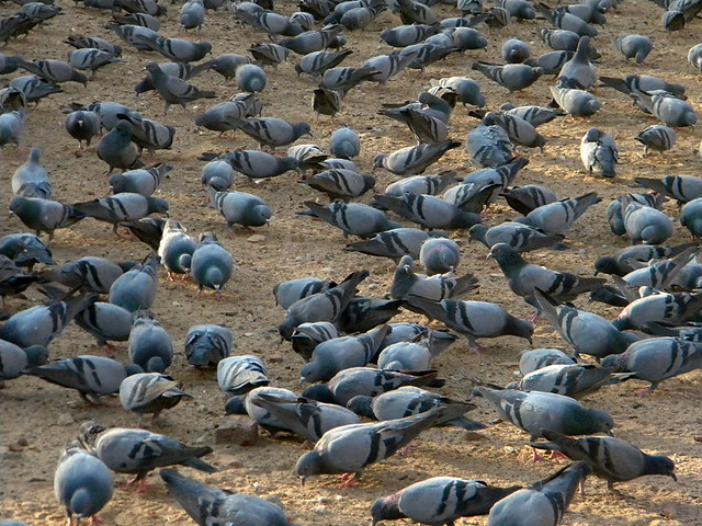 A mass of pigeons at the Amber Palace in Jaipur, India