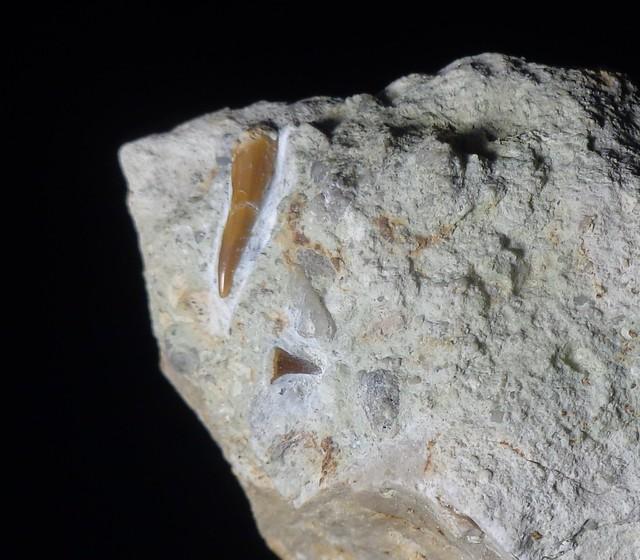 Fossilised shark teeth