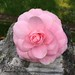 Camellia that had fallen onto a gravestone by sctatepdx