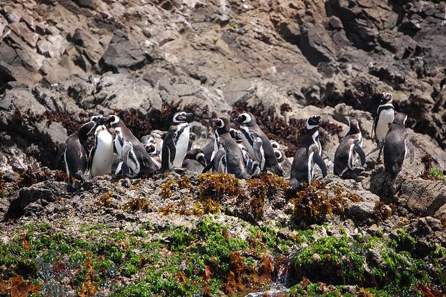 Penguin Colony in Puñihuil, Chiloé, Chile