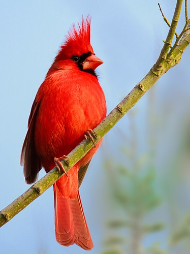 travel texas birding rookery bolivarpeninsula northerncardinal highisland