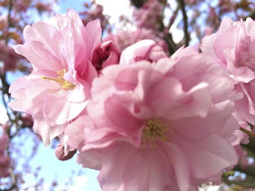 Kirschblütenfest 2016 8 BG