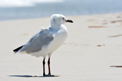 Seagull keeping cool