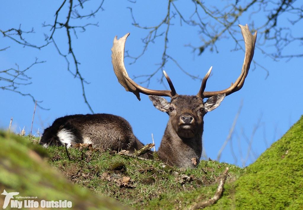 P1000220 - Fallow Deer, Dinefwr