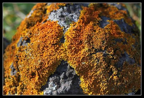 Xanthoria parietina (3)