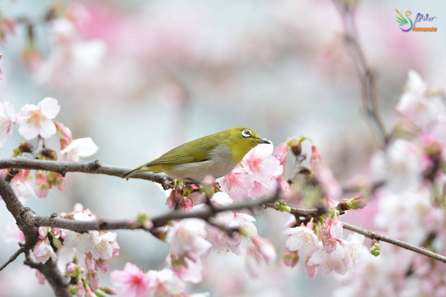 Sakura_White-eye_6764