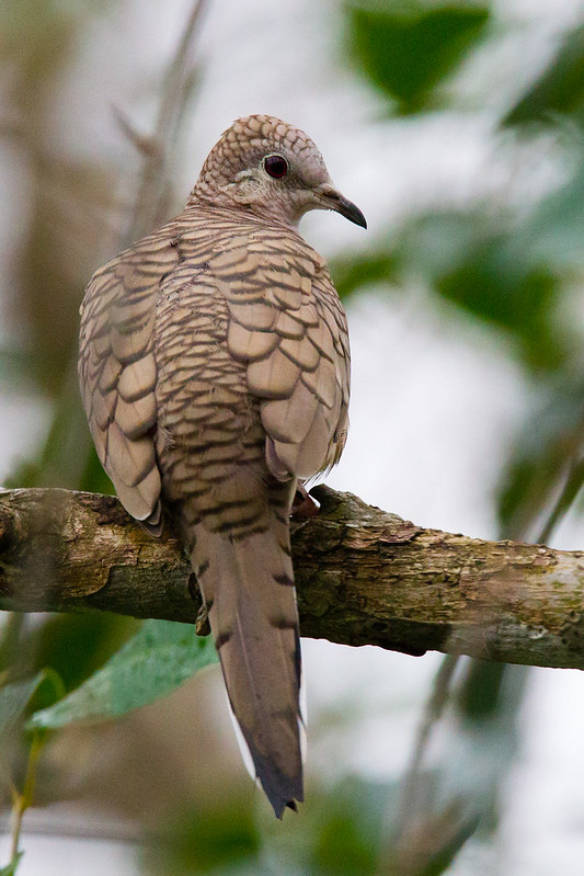 Male Inca Dove