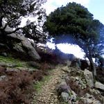 Ikaria's remotest hinterland 06 - trees at trail 3