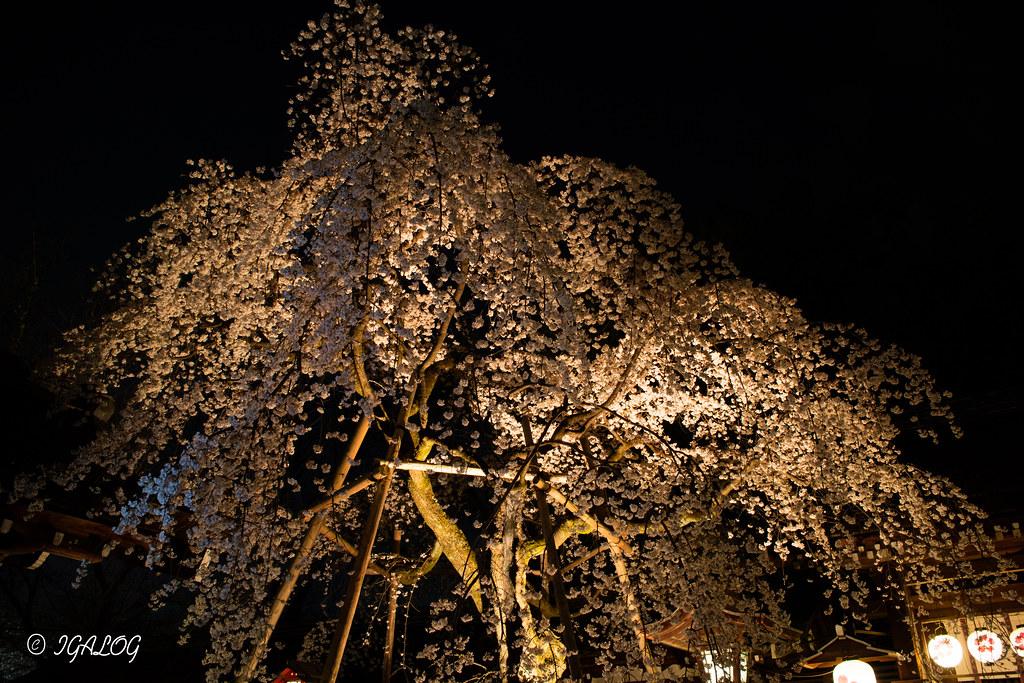 夜桜(魁桜)