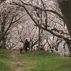 earlier at fujiwara imperial site❤︎  #fujiwaraimperialsite #latergram #nofilter #nara #奈良 #藤原宮跡 #桜 #cherryblossom