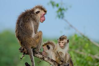 Toque Macaque Family