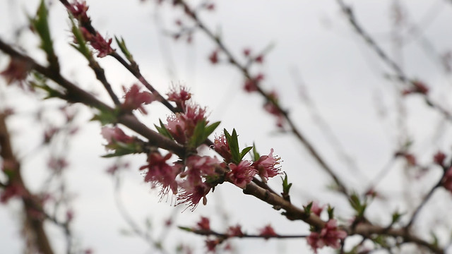 pratt-peach-bloom-closeup-1a