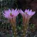 Mammillaria wagneriana by andysae
