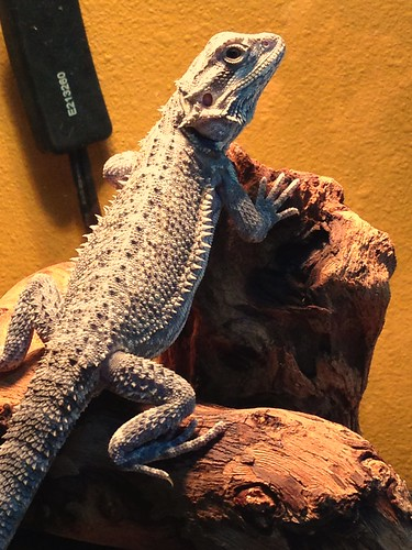 Critter the bearded dragon