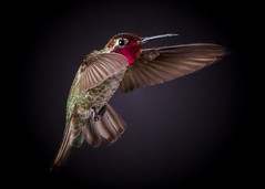 Annas Hummingbird (Male) on Black