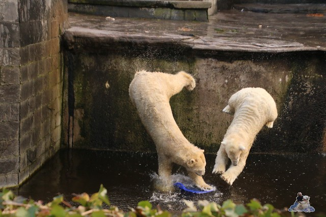 Eisbär Fiete im Zoo Rostock  079
