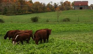 Cows grazing on a farm in Upper Marlboro, MD