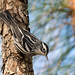 Black and White Warbler by PeterBrannon