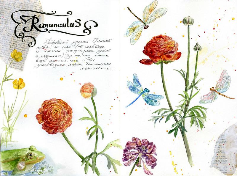 Ранункулюс (Ranunculus)