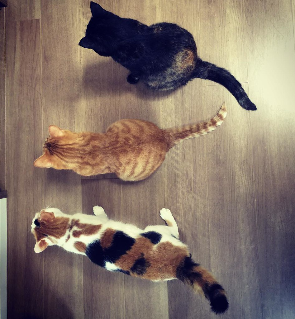 整列😺😺😺 #cat #cats #catsofinstagram #catstagram #instacat #instagramcats #neko #nekostagram #猫 #ねこ #ネコ# #ネコ部 #猫部 #ぬこ #にゃんこ #ふわもこ部