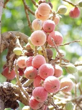 fructele sicomorului