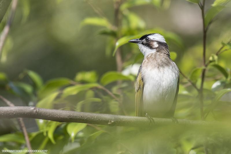 白頭翁 Pycnonotus sinensis@右昌國小