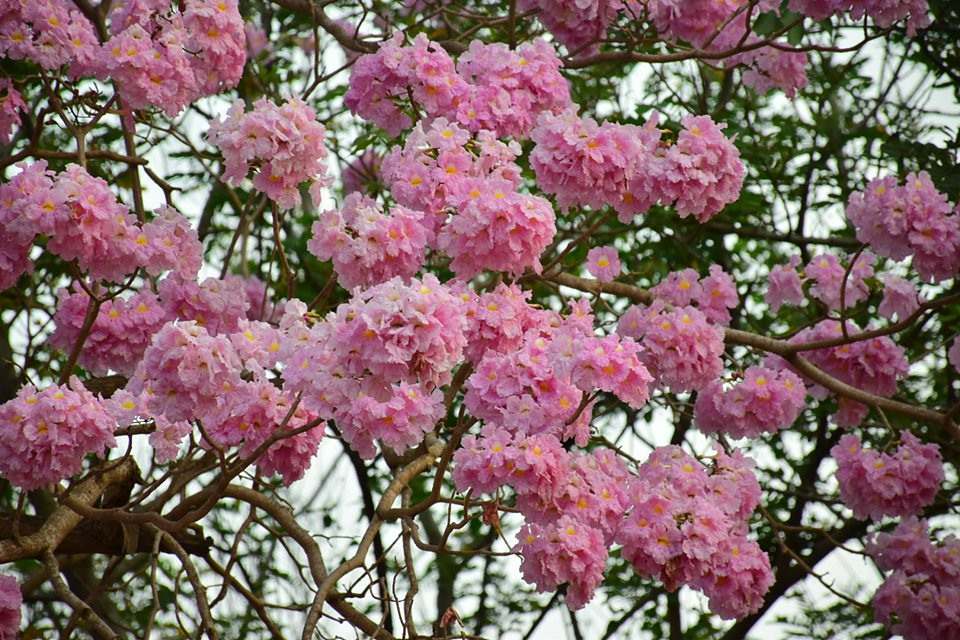 Tabebuia rosea (35)