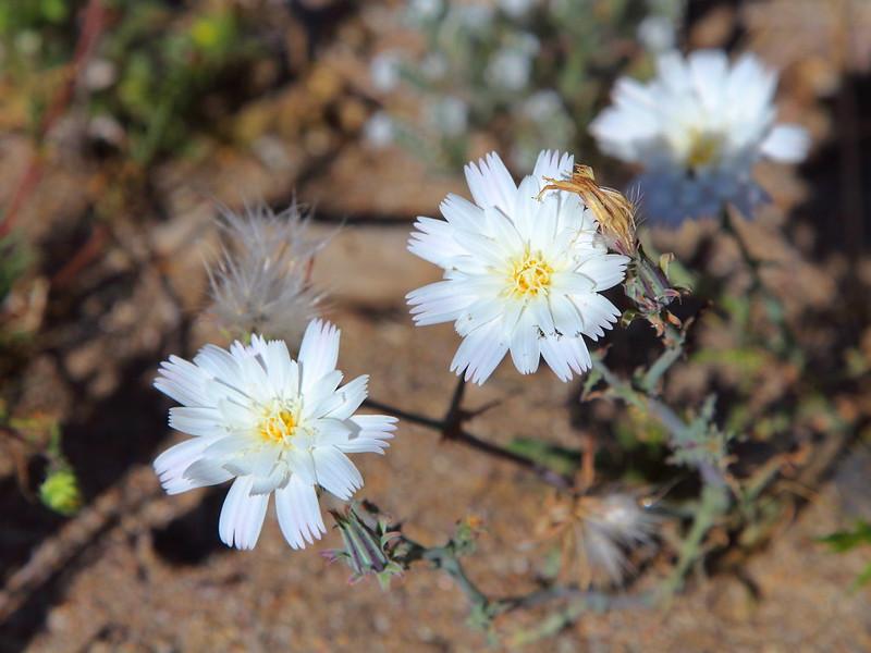 IMG_5562 Desert Chicory, Anza-Borrego Desert State Park