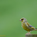 Groenling - Chloris chloris - European greenfinch