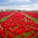 Champ de tulipes by Laurence Vagner
