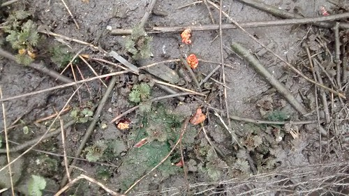 rhubarb shoots Mar 16