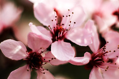 red cherry blossom, rote Kirschblüte
