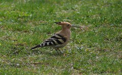 Hoopoes are back.4