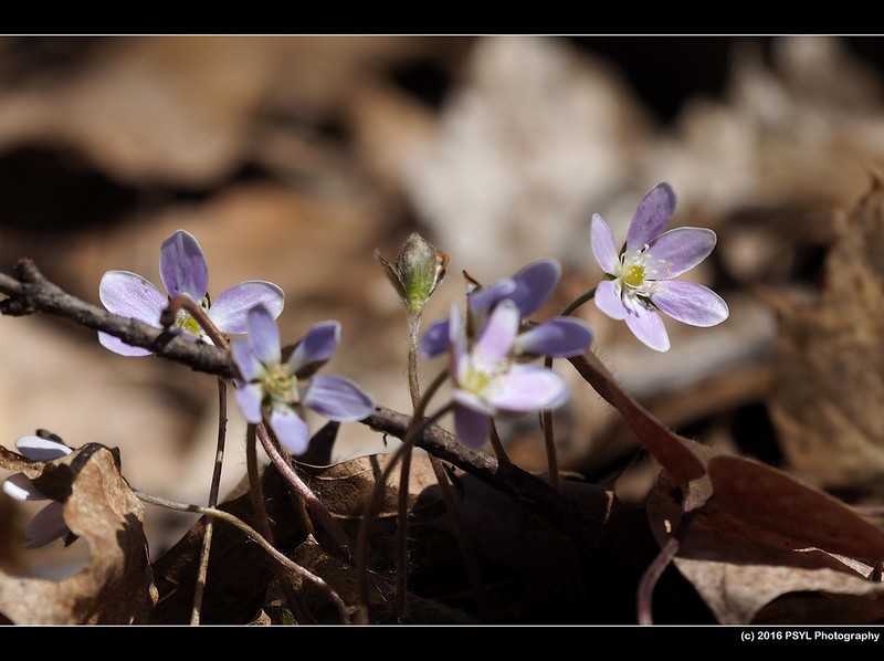 Hepatica flowers (Anemone sp.)