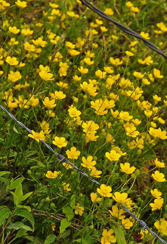 Buttercups (Ranunculus) (6)