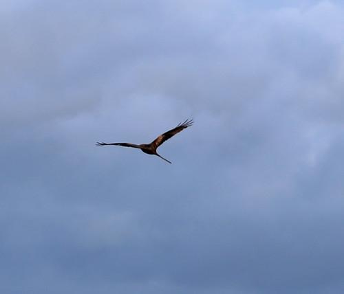 Red Kite at Beacon Hill near Ellesborough