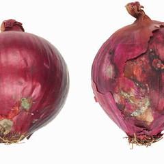 onions-0051