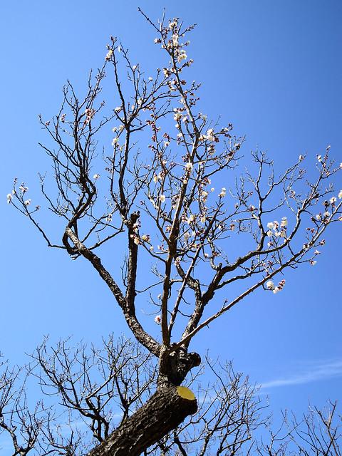 ウメ Japanese plum tree