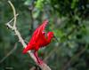Scarlet ibis - Foz do Iguacu