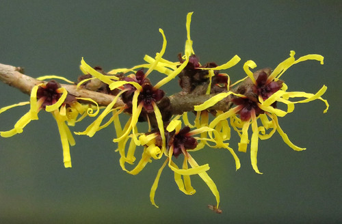 Yellow Witch Hazel Flowers