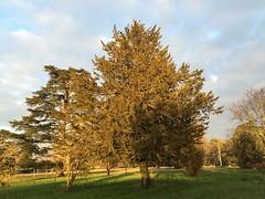 29.01.15 • trees...le parc de l'école de Sidonie et ses arbres centenaires et cette lumière de fin de journée qui leur rend leur beauté