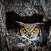 Great Horned Owl - Mama in the Nest by Jerry_a