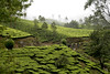 Tea plantations, South India
