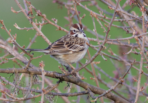 california birds unitedstates sparrow rare watsonville
